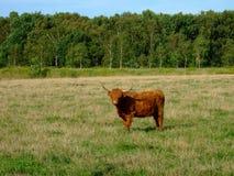 Longhorn bull in field Stock Photo