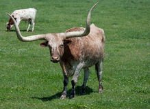 A longhorn bull in a field Royalty Free Stock Images
