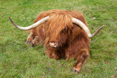 Longhorn. Bull in a field resting Stock Photography