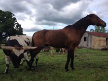Longhorn bull and horse Stock Photography