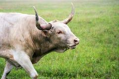 Longhorn Bull in Oklahoma