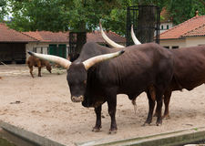 Longhorn bull in zoo. Two longhorn bulls in the amsterdam zoo Stock Images