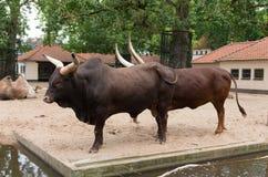 Longhorn bulls in zoo Stock Photography