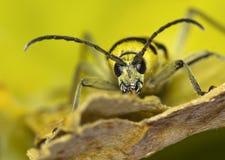 Longhorn  Capricorn  beetle Royalty Free Stock Photos
