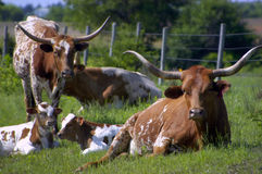 Longhorn Cattle Royalty Free Stock Images