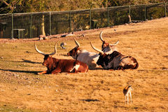 Longhorn cattle Royalty Free Stock Image