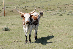 Longhorn cattle. Brown and white curious longhorn stock image