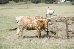 Longhorn cattle Stock Photo