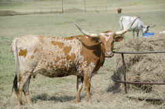 Longhorn cattle Royalty Free Stock Photography