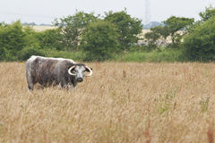 Longhorn cattle. Female longhorn cattle standing lonely in the fields Stock Photos