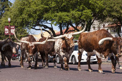 Longhorn cattle in Fort Worth Stockyards historic district Stock Image