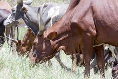 Longhorn cattle grazing Stock Photo