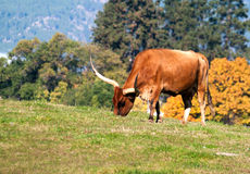 Longhorn Cattle Stock Image