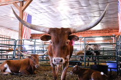 Longhorn cattle Group Stock Images