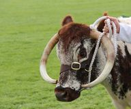 Longhorn Cattle. Royalty Free Stock Images