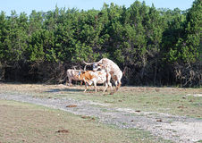 Longhorn Cattle Mating Royalty Free Stock Images