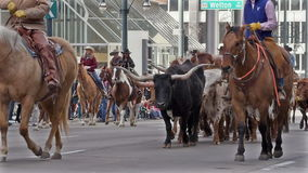 Longhorn Cattle in the National Western Stock Show Parade. stock video