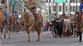 Longhorn Cattle in the National Western Stock Show Parade. stock footage