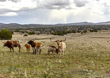 Longhorn Cattle on the Open Range Stock Photos