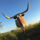 Longhorn cattle standing in a field. A longhorn cattle standing in a green field with a blue sky background Stock Photo