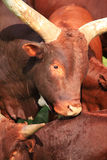 Longhorn Cattle Steer Stock Photo
