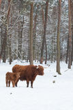 Longhorn cattle in winter Stock Photos
