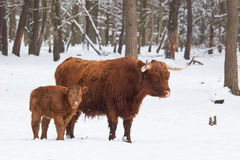Longhorn cattle in winter Stock Images