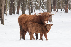 Longhorn cattle in winter Royalty Free Stock Images