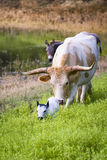 Longhorn Cow and Calf Grazing at Sunrise Royalty Free Stock Images