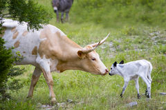 Longhorn Cow and Calf Royalty Free Stock Photos