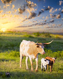 Longhorn Cow and Calves Grazing at Sunrise Stock Image