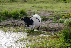 Longhorn Cow Drinking Water Stock Photo