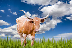 Longhorn Cow Royalty Free Stock Photo