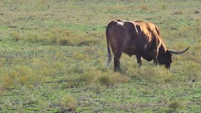 Longhorn cow grazing stock footage