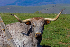 Longhorn Cow Stock Images