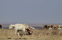 Longhorn cow outside of fence grazing with rest of herd behind barbed wire fence on horizon on stormy day. Longhorn cow outside fence grazing with rest of herd Stock Photo