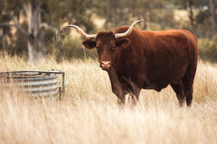 Longhorn Cow in the paddock Royalty Free Stock Photo