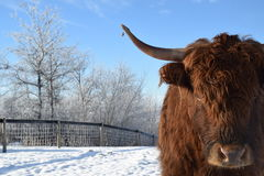 Longhorn cow. A photo of a longhorn cow with blue sky and a fence Royalty Free Stock Photo