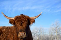 Longhorn cow. A photo of a longhorn cow with blue sky and frosty trees in the background Stock Photos
