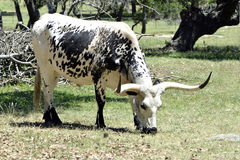 Longhorn Cow on Texas Ranch Stock Photography