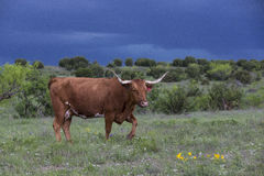 Longhorn cow with thunderstorms in background. In Texas stock photos