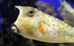 Longhorn cowfish ή κερασφόρο cornuta Lactoria boxfish Στοκ φωτογραφία με δικαίωμα ελεύθερης χρήσης