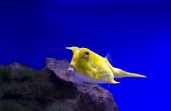 Longhorn Cowfish κίτρινο Στοκ φωτογραφίες με δικαίωμα ελεύθερης χρήσης