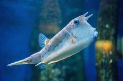 Longhorn cowfish Στοκ Εικόνες