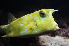Longhorn cowfish, cornuta Lactoria Στοκ Φωτογραφίες