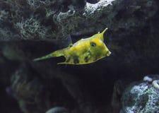Longhorn cowfish, cornuta Lactoria Στοκ Εικόνες
