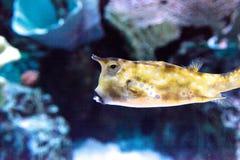 Longhorn cowfish, cornuta Lactoria Στοκ εικόνα με δικαίωμα ελεύθερης χρήσης