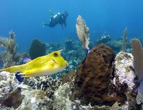 A Longhorn Cowfish Cruises the Reef in Papua New Guinea Royalty Free Stock Images