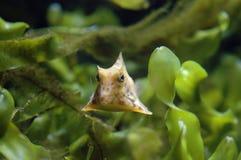 Longhorn Cowfish (Lactoria cornuta). Face to face Stock Photo