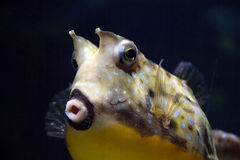 Longhorn cowfish. Lactoria cornuta in aquarium Royalty Free Stock Image